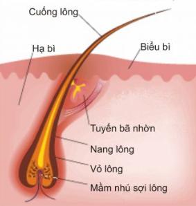 Cấu tạo lông trên cơ thể người